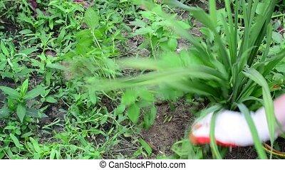 Woman plucks the grass in flower garden - Woman plucks the...