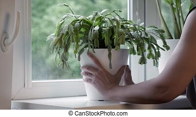 Woman puts a home plant in a pot on a windowsill after ...