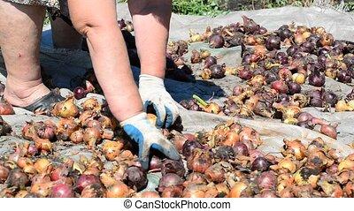 Woman puts onions drying in sun