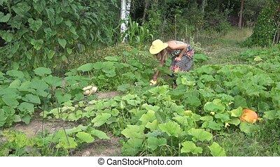 woman reap fresh zucchini harvest in garden at summer time. 4K