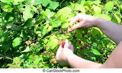 Woman reaps a crop of raspberries in garden