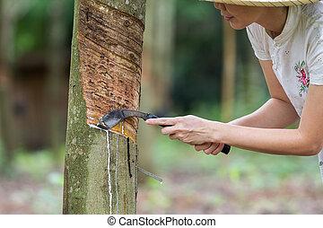 rubber tapping - woman rubber tapping in rubber plantations.