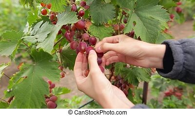 Woman shows a heap of red grapes harvested by herself in a red grapes vineyard. Organic food and fine wine handmade. Female hands picking bunch of juicy grapes on the vineyard during the harvest.
