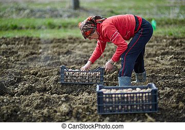 Woman sowing potatoes - Peasant woman cultivating potatoes...