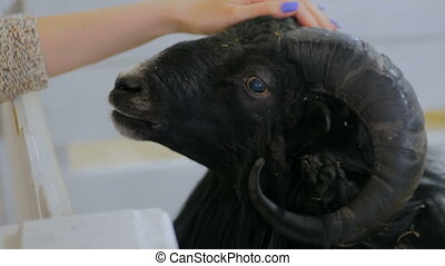 Woman stroking a black sheep in contact zoo