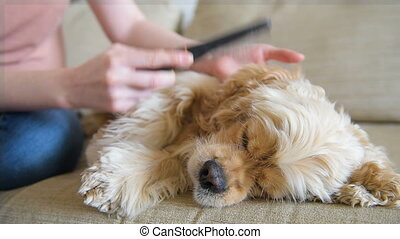 Woman take care about fur of her dog. Cocker spaniel lay at...
