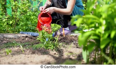 woman takes red watering can waters planted cowslip bush -...