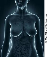 Woman thyroid anatomy