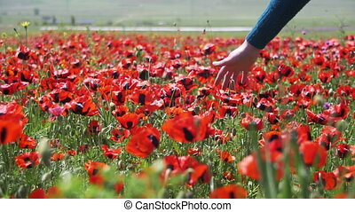 Woman Touches the Red Blossoming Poppies on the Field. Slow...
