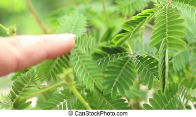 Woman touching leaves of sensitive plant, also known as Mimosa Pudica, sleepy plant, touch-me-not or shy plant.