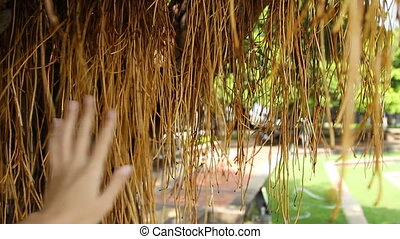 Woman touching tree roots. Tree with aerial root system....