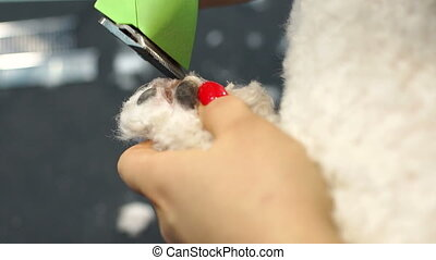 Woman trimming a small a dog Bichon Frise with an electric hair clipper.