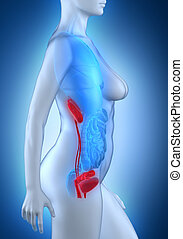 Woman urogenital anatomy white lateral view