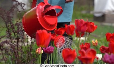 woman uses new watering can to water red tulips in garden -...