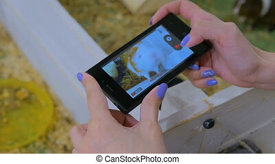 Woman using smart phone take a photo of guinea pig in zoo