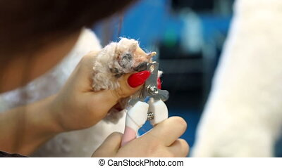 Woman veterinarian trim the claws of a dog Bichon Frise in a veterinary clinic.