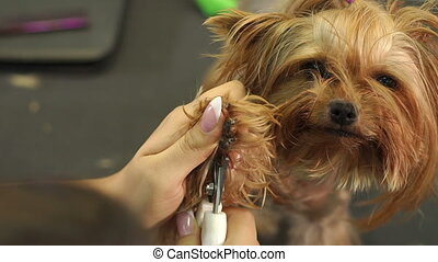 Woman veterinarian trim the claws of a Yorkshire Terrier in a veterinary clinic.