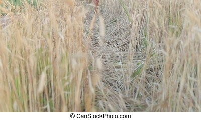 Woman walking and touching wheat spikes on wheat field.