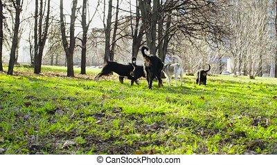 Woman walking with bernese shepherd dog puppies