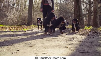 Woman walking with bernese shepherd dog puppies