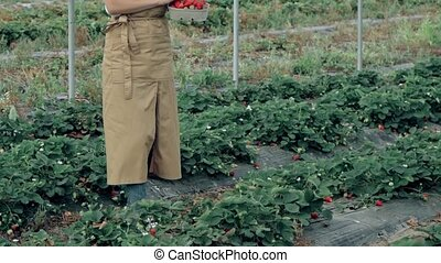 Young curly woman carrying basket with strawberries, collecting harbest at plantation. Side motion of female farmer with organic berries walking at hothouse, green rows on background.
