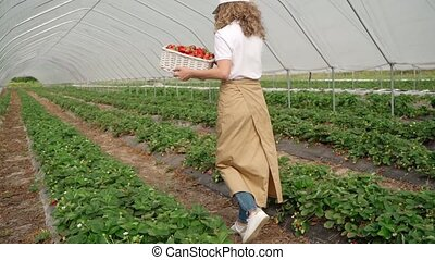 Back motion of unrecognizable female farmer with organic berries walking at hothouse, green rows on background. Young curly woman carrying basket with strawberries, collecting harbest at plantation.