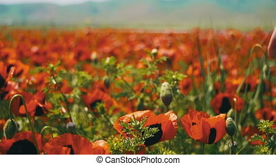 Woman Walks on a Field Poppy Among Flowering Red Poppies