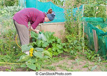 Woman watering rhubarb