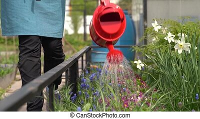 woman waters flowers on flowerbed with red watering can -...