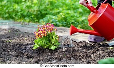 woman waters planted cowslip with red watering can closeup -...