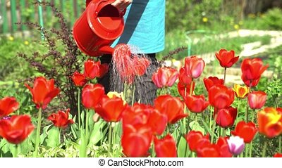 woman waters tulips on flowerbed with red watering can -...