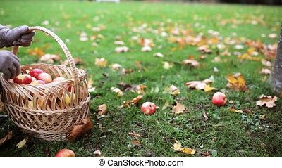 woman with basket picking apples at autumn garden