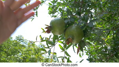 Woman with cell shooting pomegranates on the tree