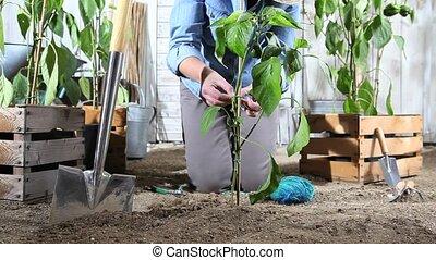 woman work in vegetable garden binds the sweet pepper plant...