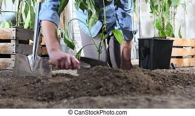 woman work in vegetable garden place sweet pepper plant from...