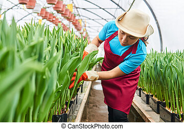 woman worker in a greenhouse examines hydroponic tulips in crates