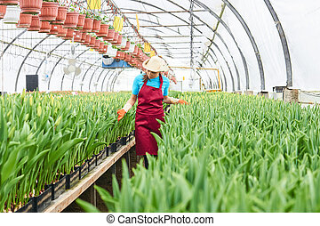 woman worker examines hydroponic tulips in a greenhouse
