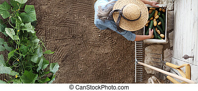 woman working in vegetable garden, collects a cucumber in wodden box, top view isolated on soil, copy space banner template