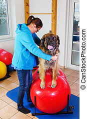 woman works with a Leonberger in a physiotherapy office