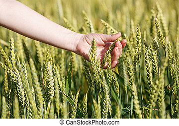 Woman's hand takes the ears of grain