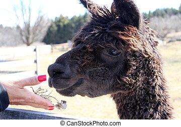 Woman's hand feeding llama