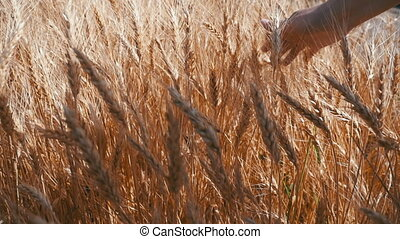 Woman's Hand Moves in Spikelets of Wheat in the Field. Slow Motion