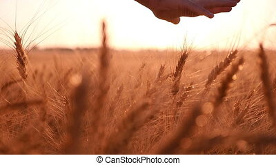 Woman`s hand palms the spikes of ripe wheat at sunset in slow motion
