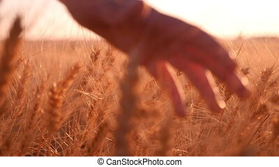 Woman`s hand palms the spikes of ripe wheat at sunset in...