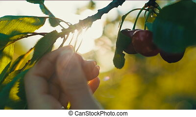 Woman's hand picking cherries