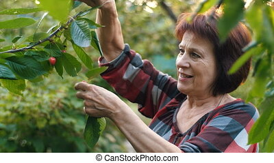 Woman's hand picking cherry