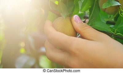 Woman's Hand Picking Peaches - Woman in garden collects...