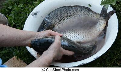 Woman's hand pulls a big carp from a bowl. Three fresh carp...