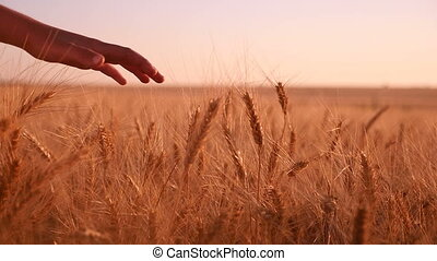 Woman`s hand touches upon  the spikes of ripe wheat at sunset in slow motion