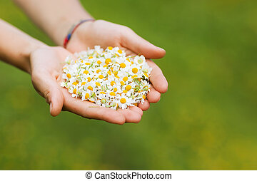 Woman's hand with a camomile i